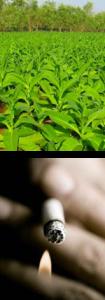 bentonit-nikotin-etkisi